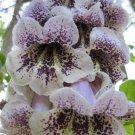 50+ Paulownia Catalpifolia ( Paulownia Tree ) seeds
