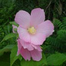 10+ Hibiscus Moscheutos Palustris ( Pink Mallow ) seeds