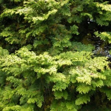 30+ Chamaecyparis Obtusa ( Hinoki Cypress ) seeds