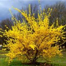 10+ Forsythia Suspensa ( Trifoliate Forsythia ) seeds