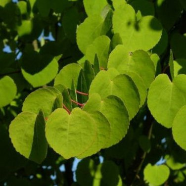 25+ Cercidiphyllum Japonicum ( Katsura Tree ) seeds