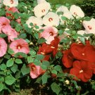 10+ Hibiscus Moscheutos ( Rosemallow mixed ) seeds