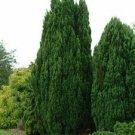 15+ Chamaecyparis Lawsoniana ( Lawson Cypress ) seeds