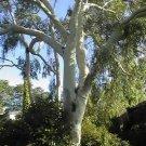 25+ Eucalyptus Citriodora ( Lemon Scented Gum ) seeds