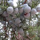 40+ Juniperus Deppeana ( Alligator Juniper ) seeds