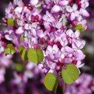 25+ Cercis Occidentalis ( California Redbud ) seeds