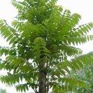 10+ Toona / Cedrela Sinensis ( Chinese Mahogany ) seeds