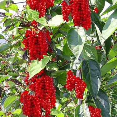 20+ Schisandra Chinensis ( Magnolia Vine ) seeds