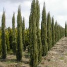 100+ Cupressus Sempervirens Stricta ( Italian Cypress ) seeds