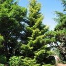 10+ Picea Orientalis ( Oriental Spruce ) seeds