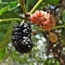 200+ Morus Nigra ( Black Mulberry ) seeds. FREE S&H