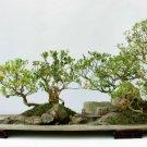 10+ Buxus Microphylla Sinica ( Chinese Boxwood ) seeds