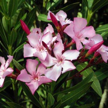 20+ Nerium Oleander ( Oleander ) seeds
