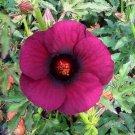 20+ Hibiscus Cannabinus ( Brown Indian Hemp ) seeds
