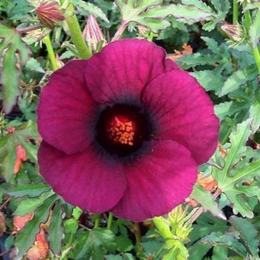 10+ Hibiscus Cannabinus ( Brown Indian Hemp ) seeds