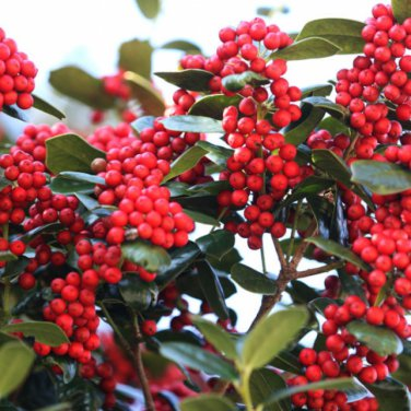 10+ Ilex Cornuta ( Chinese Holly ) seeds