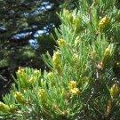 10+ Pinus Edulis ( Pinyon Nut Pine ) seeds