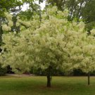 10+ Chionanthus Virginicus ( White Fringe tree ) seeds