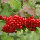 30+ Viburnum Trilobum ( High Bush Cranberry ) seeds