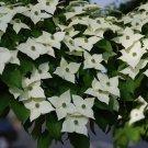 6+ Cornus Kousa ( Chinese Dogwood ) seeds