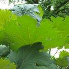 20+ Macleaya Cordata ( Plume Poppy ) seeds