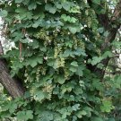 60+ Humulus Lupulus ( Beer Hops ) seeds