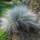 10+ Festuca Ovina Glauca ( Blue / Sheep Fescue ) seeds
