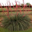 25+ Hesperaloe Parviflora ( Red Yucca ) seeds