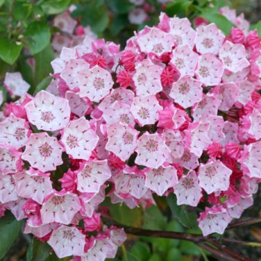 50+ Kalmia Latifolia ( Mountain Laurel ) seeds