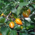 5 Diospyros Rhombifolia ( Diamond-leaf Persimmon ) seeds