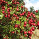20+ Crataegus Monogyna ( English Oneseed Hawthorn ) seeds