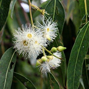 100+ Eucalyptus Grandis ( Rose gum ) seeds