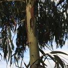 50+ Eucalyptus Alba / viminalis ( Timor White Gum ) seeds