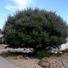 20+ Vitex Agnus castus ( Lilac Chaste Tree ) seeds