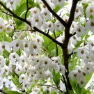 10+ Styrax Japonicus ( Japanese Snowbell ) seeds