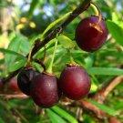 5+ Prinsepia Uniflora ( Rui Ren ) seeds