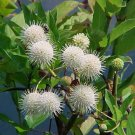 20+ Cephalanthus Occidentalis ( Button Bush ) seeds