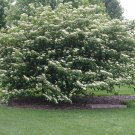 10+ Cornus Alternifolia ( Pagoda Dogwood ) seeds