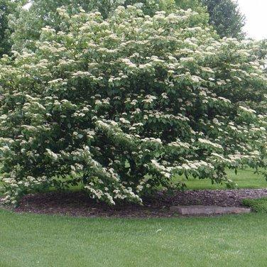 5+ Cornus Alternifolia ( Pagoda Dogwood ) seeds
