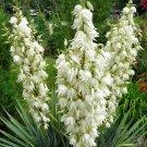 100+ Yucca Filamentosa ( Adam's Needle ) seeds