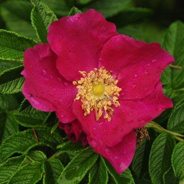 50+ Rosa Rugosa Rubra ( Red Rugosa Rose ) seeds