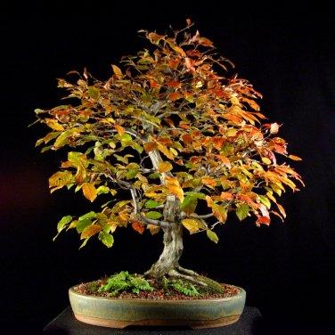 10+ Carpinus Caroliniana ( American Hornbeam ) seeds