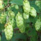 10+ Ostrya Virginiana ( Ironwood ) seeds