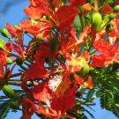 6+ Poinciana Pulcherrima ( Barbados Pride ) seeds