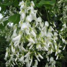 10+ Cladrastis Lutea ( Yellowwood ) seeds
