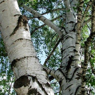 50+ Betula Pendula / Verrucosa ( European White Birch ) seeds