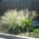 100+ Eragrostis Curvula ( Weeping Lovegrass ) seeds