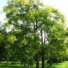 10+ Cedrela Odorata ( West Indian Cedar ) seeds