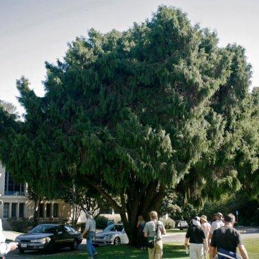 50+ Cupressus Funebris ( Chinese Weeping Cypress ) seeds