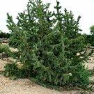 5+ Pinus Aristata ( Bristlecone Pine ) seeds
